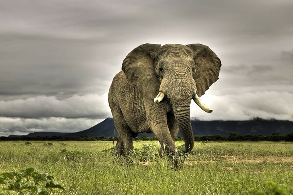 Huge African elephant walking on savanna