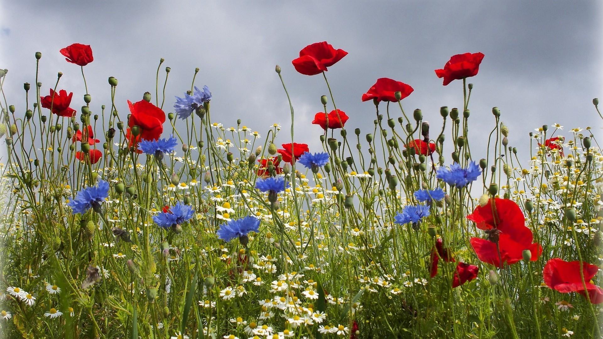 Полевые цветочки в хорошем качестве
