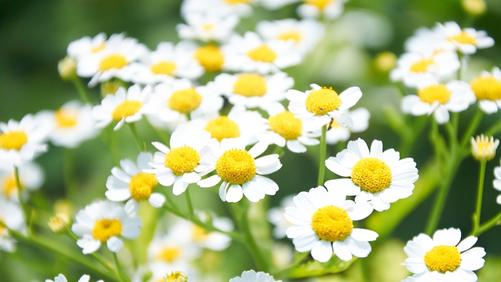 chamomile nature summer flora flower leaf hayfield bright garden petal fair weather field growth herbal color grass blooming floral close-up
