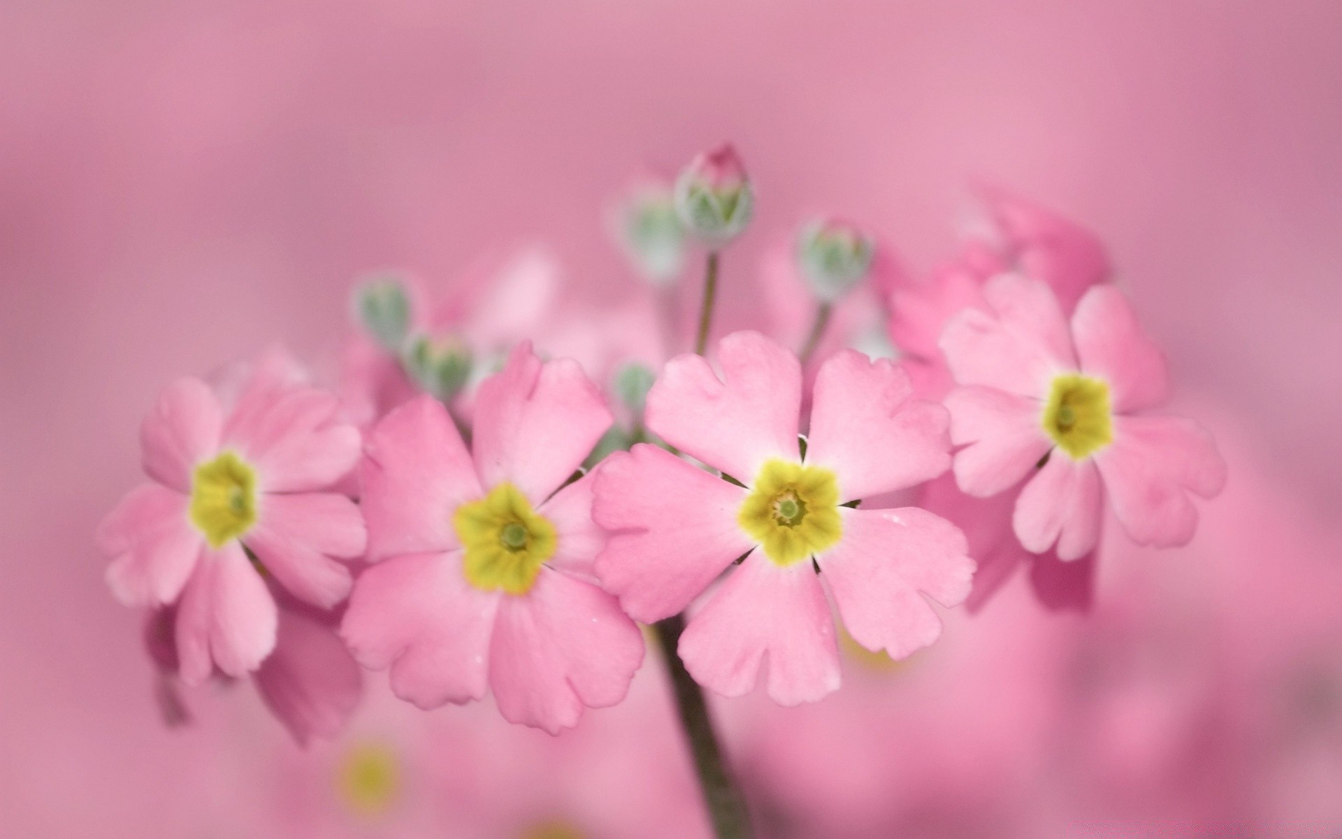 Tiny Pink Flowers Desktop Wallpapers For Free