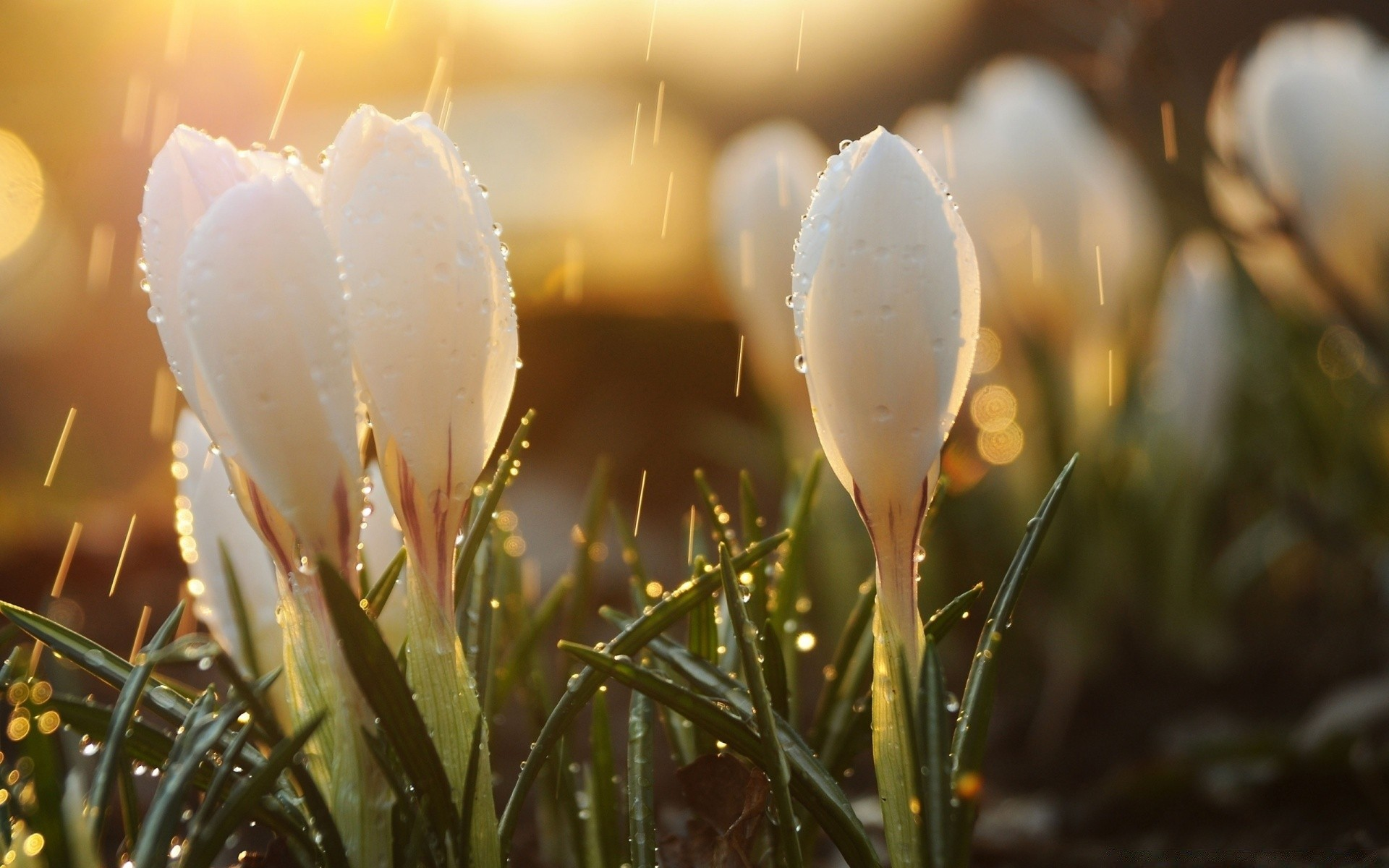 White Spring Flowers In Rain Android Wallpapers For Free