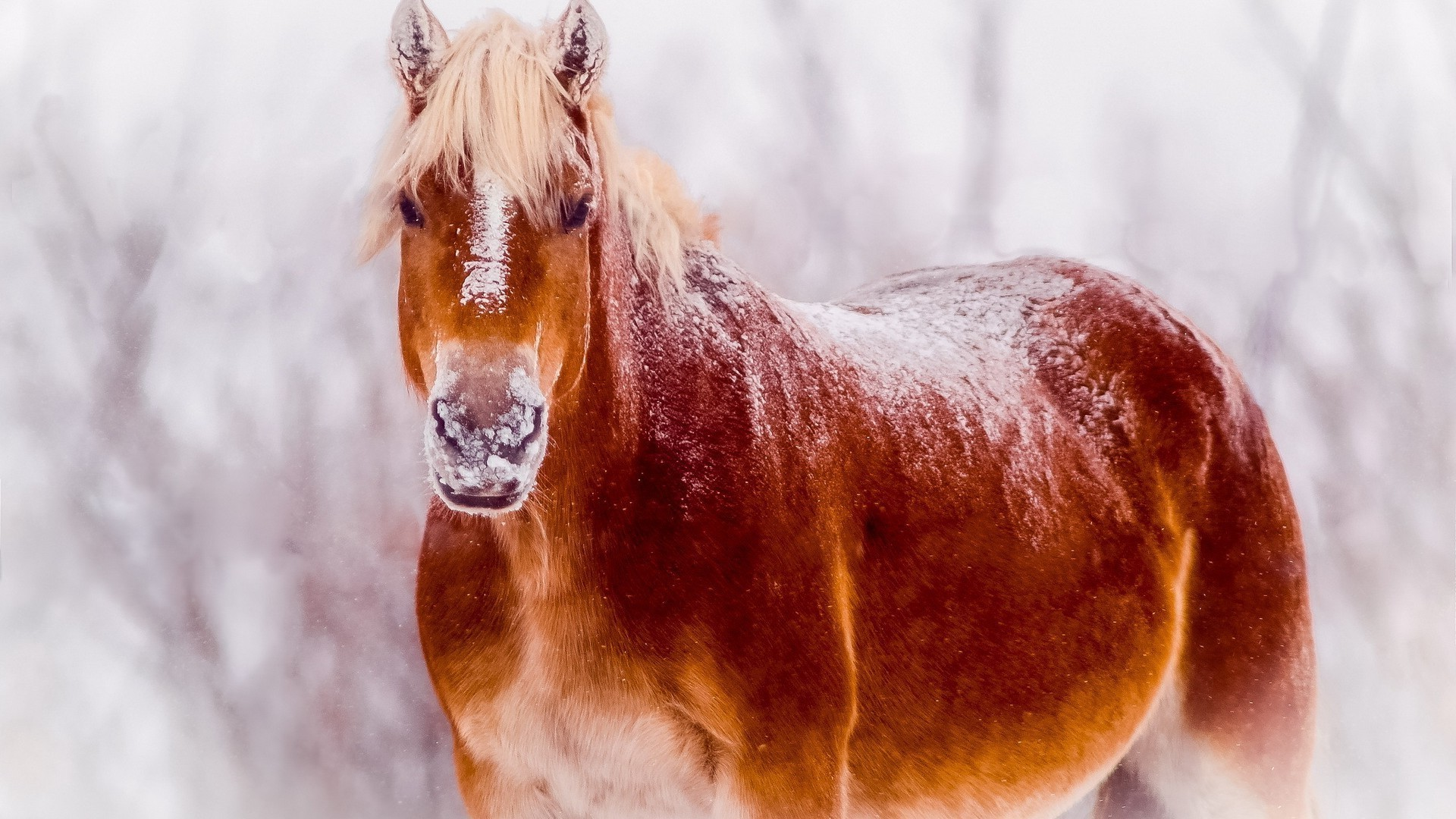 horses winter nature snow outdoors mammal cavalry one