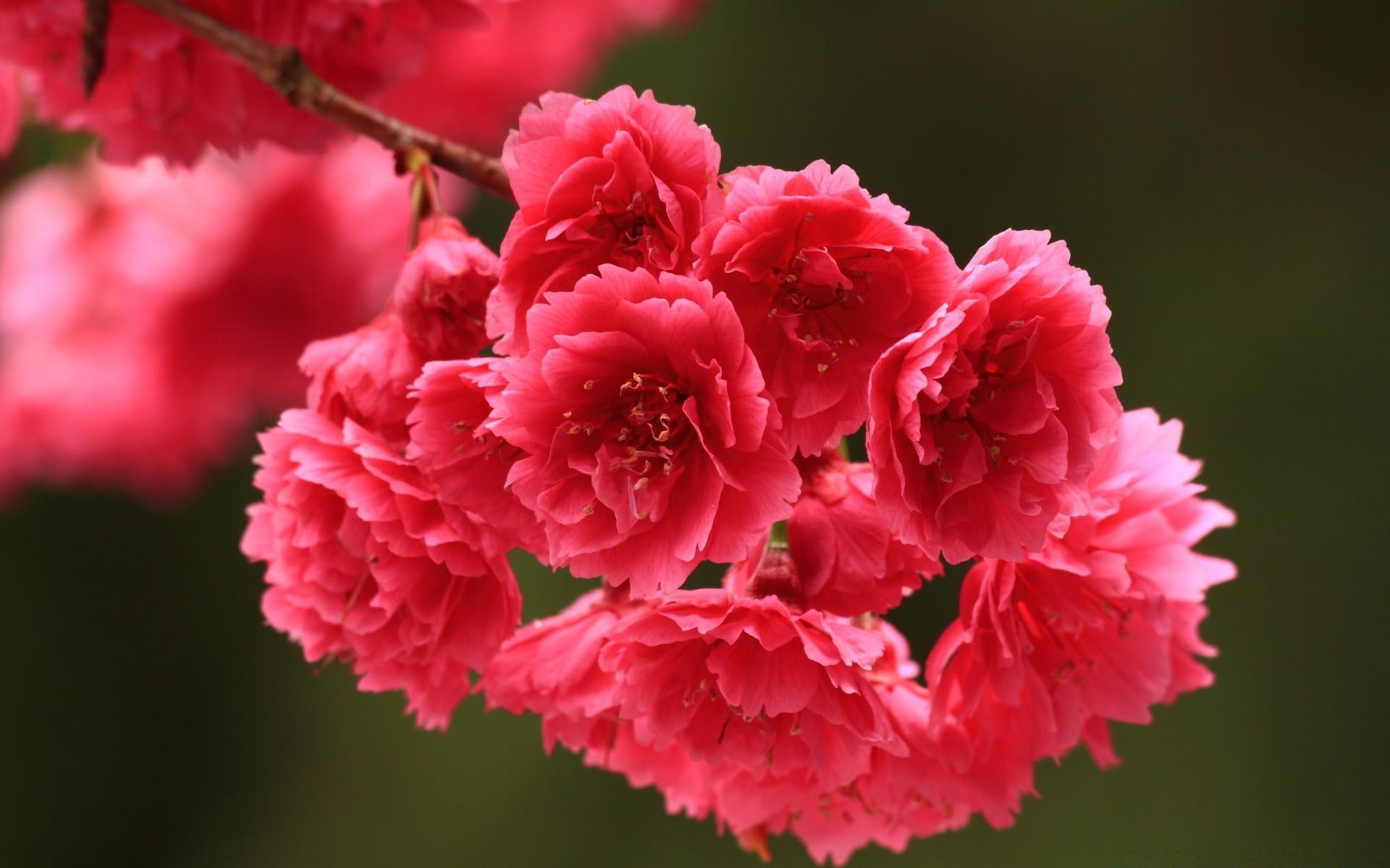 Red spring flowers desktop wallpapers for free mightylinksfo