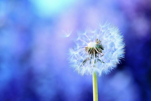 Dandelion On Purple Background