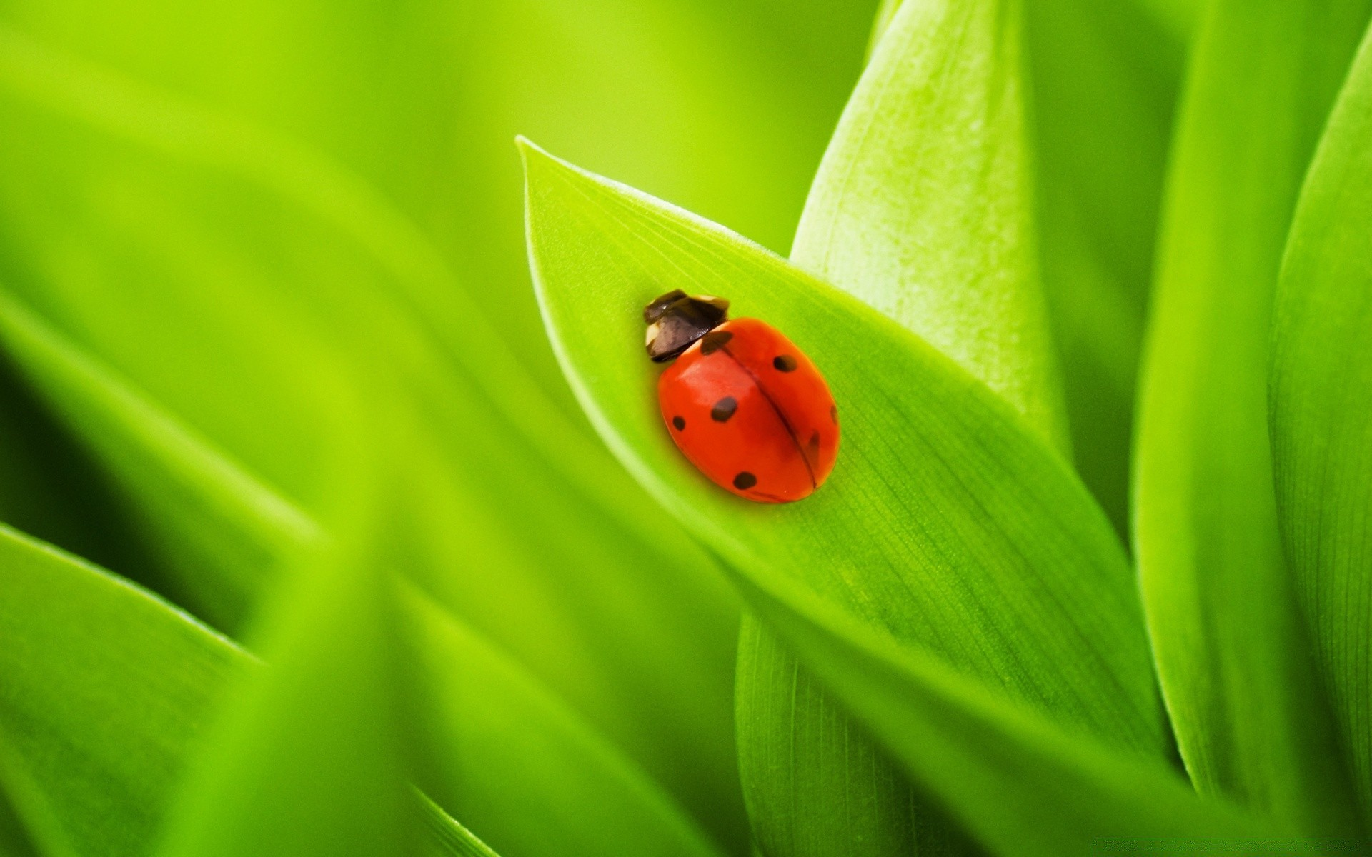 ladybug sleeping on a green leaf. iphone wallpapers for free.