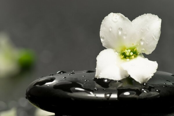 Zen Stones And Flower