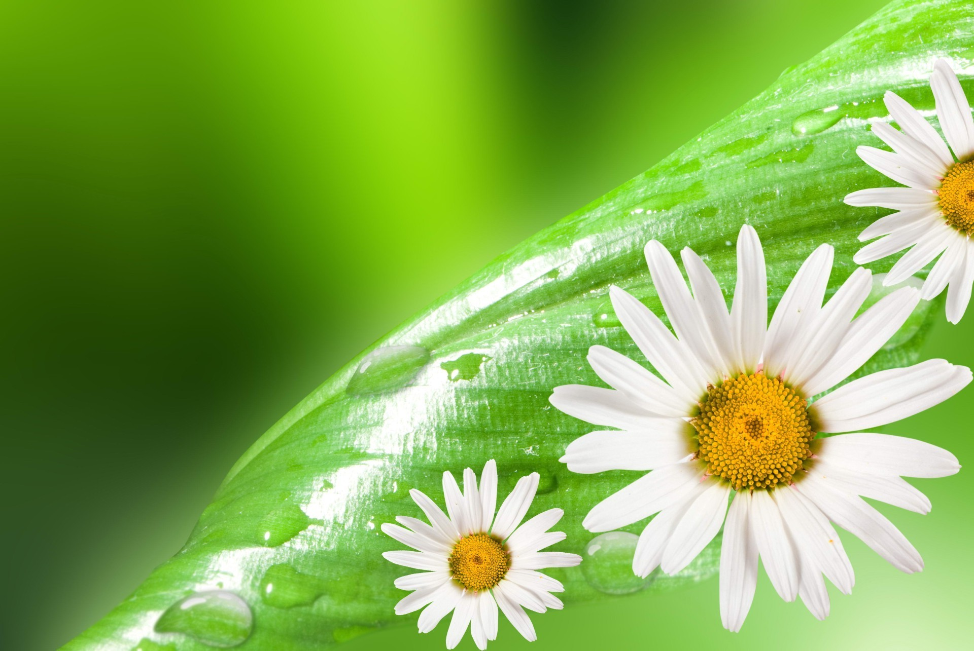 Daisies on a soft green background