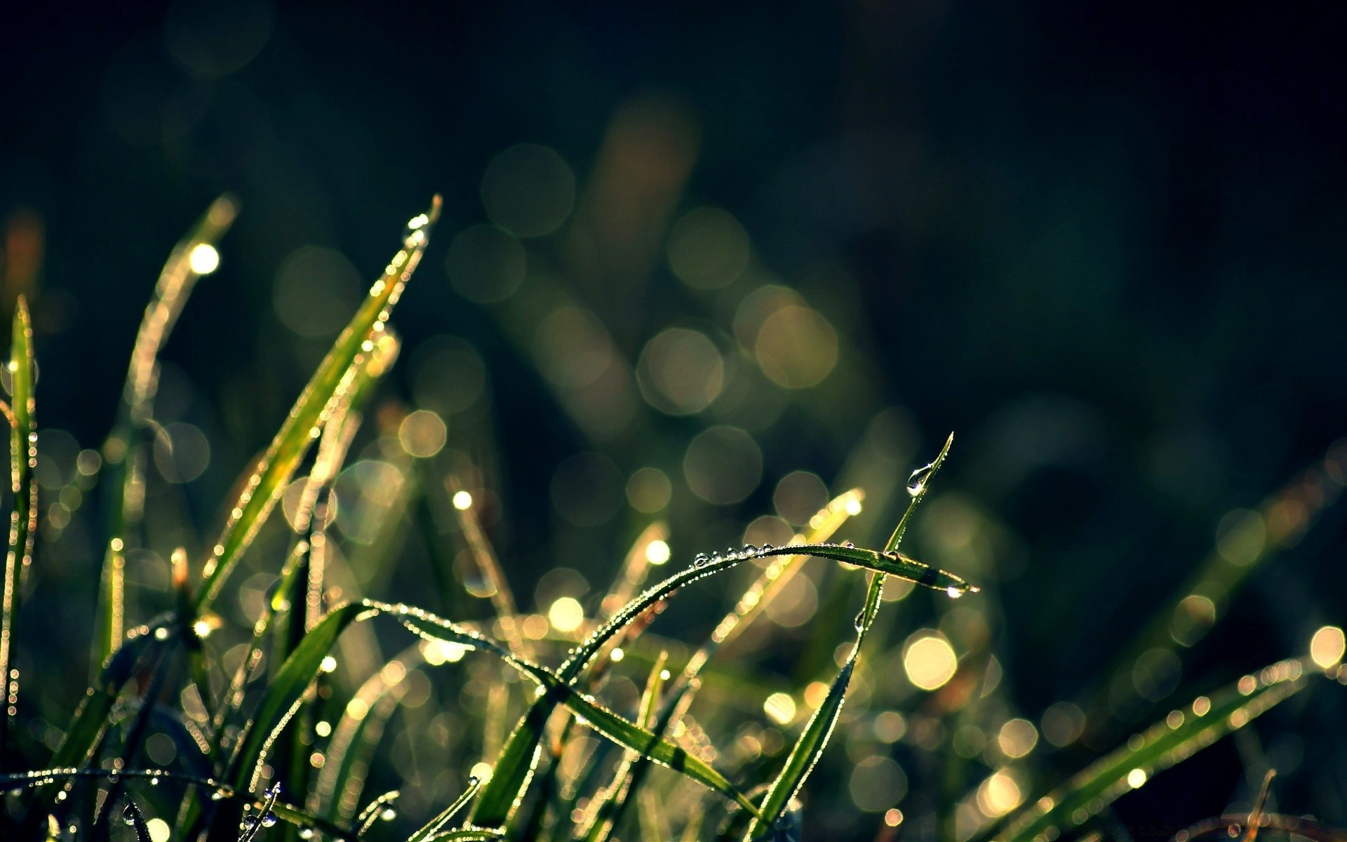 morning dew in sunlight. android wallpapers for free.
