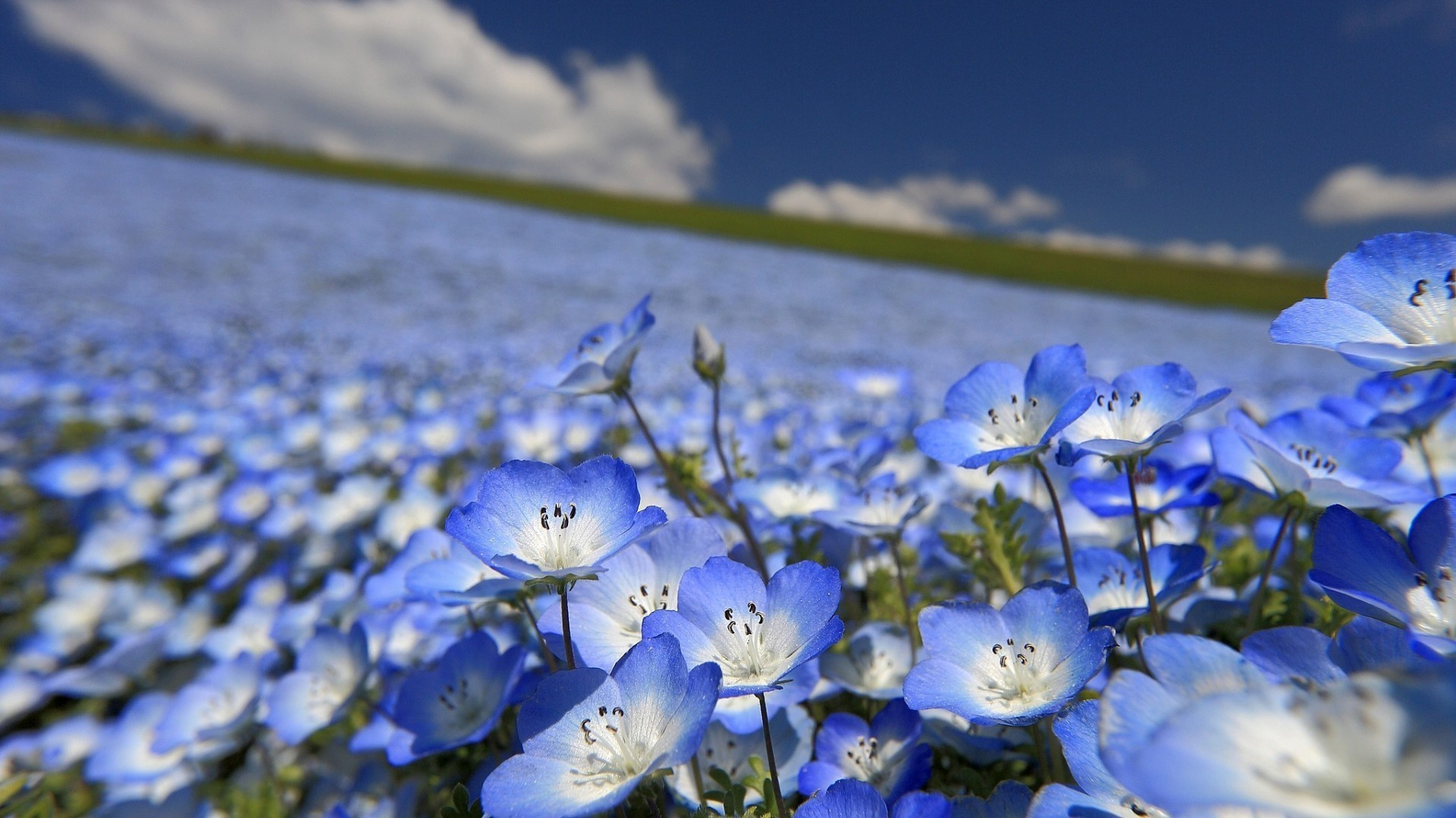 Цветы природа незабудки синие загрузить