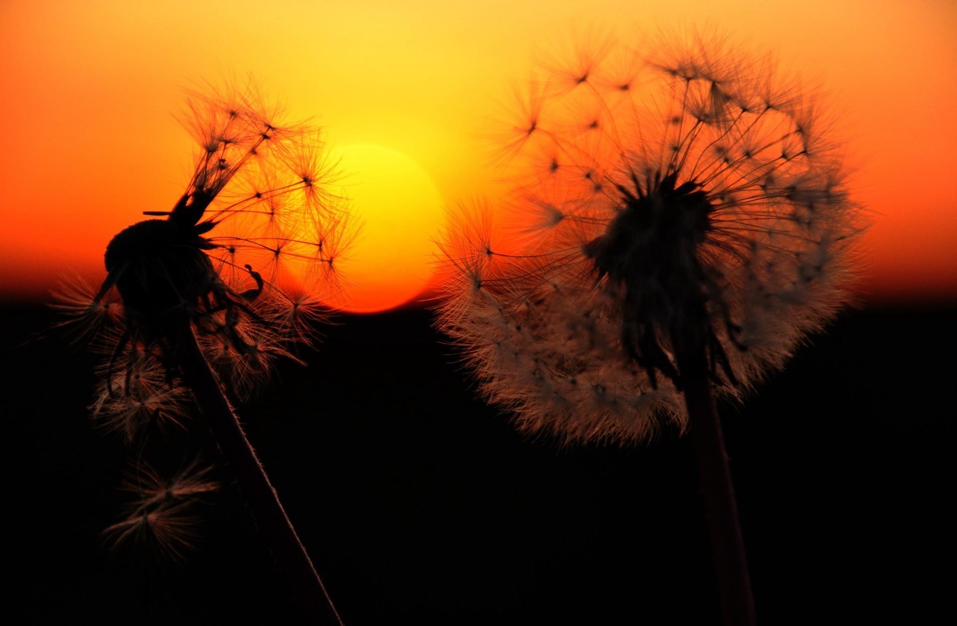 природа одуванчики рассвет скачать