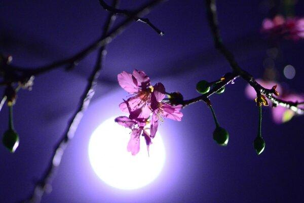 Night, moon, Sakura