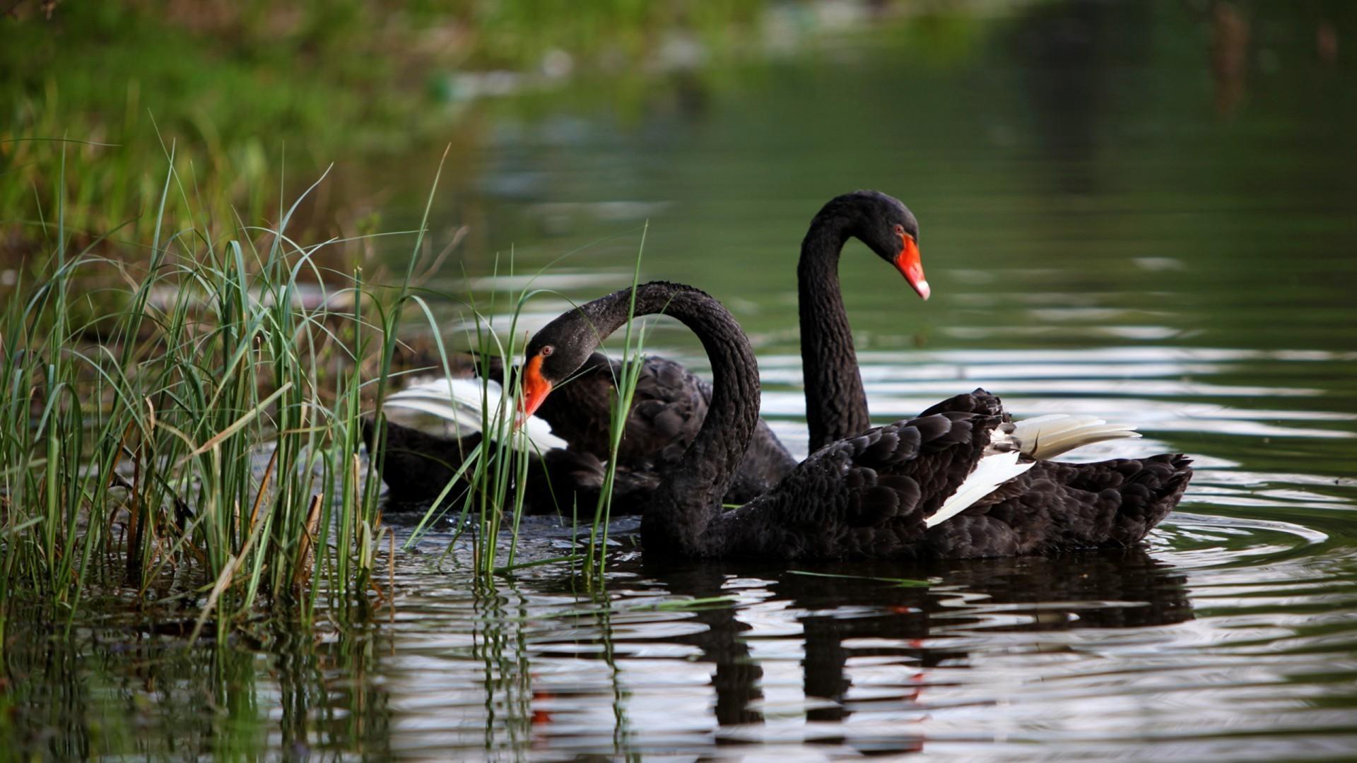 Wallpapers Swans Birds