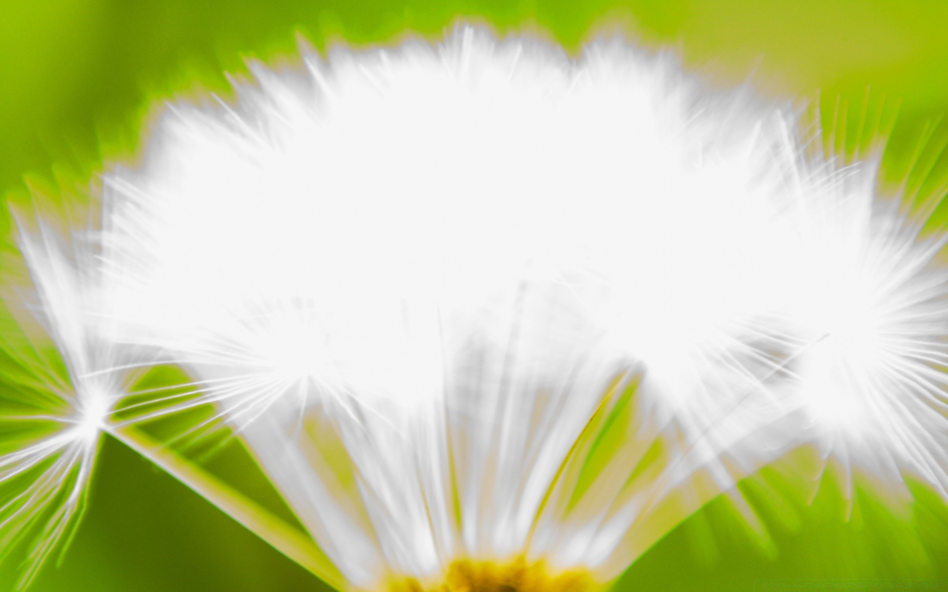 White Dandelion Android Wallpapers For Free