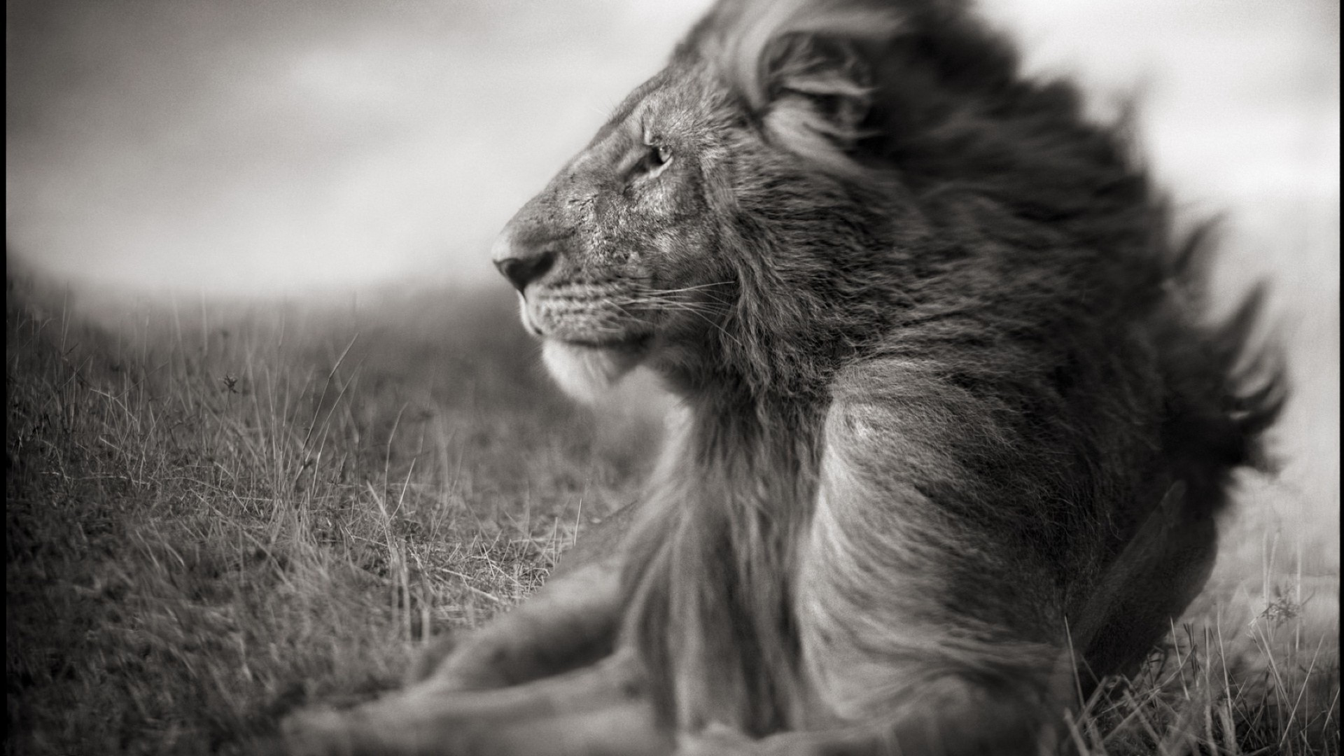 lions mammal monochrome portrait animal nature wildlife fur cat one cute outdoors grass hair dog wild zoo