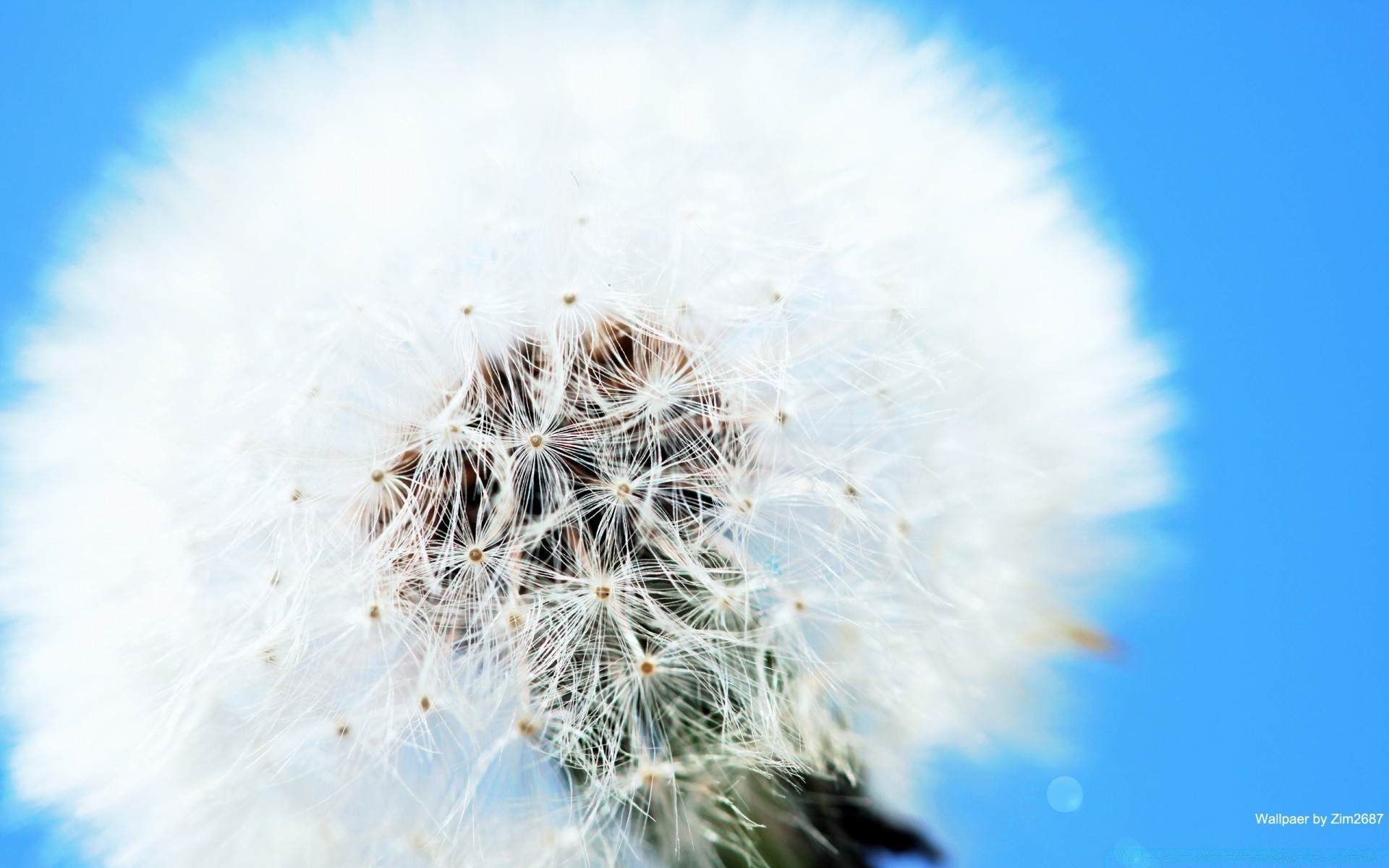 Fluffy Dandelion Android Wallpapers For Free