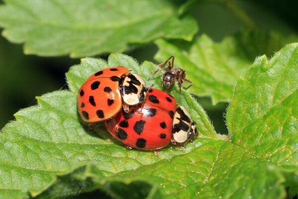 Ant prevented ladybirds at the crucial moment