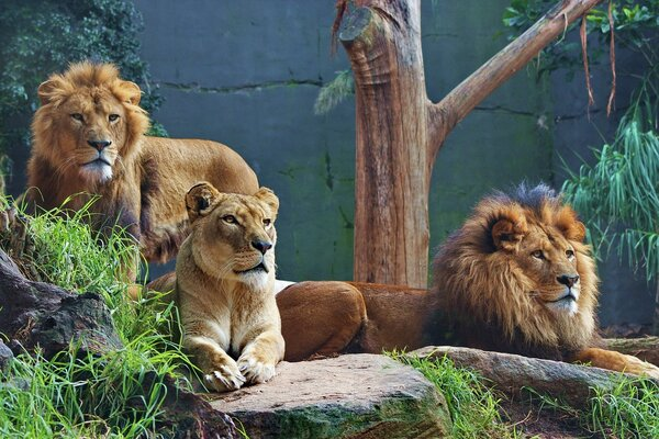 A pride of lions at the zoo near the wall
