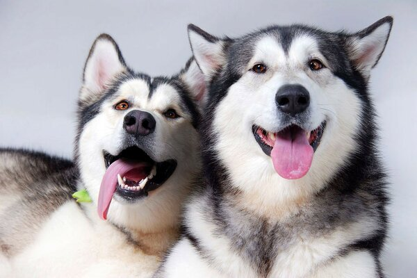 Two purebred Siberian husky stuck out their pink tongues
