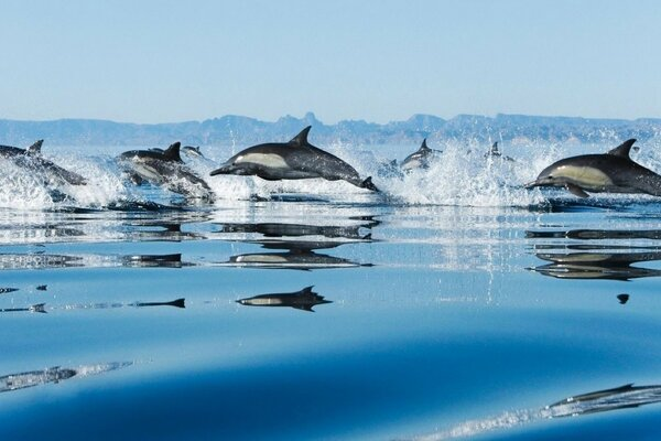 A flock of migrating dolphins after the fish