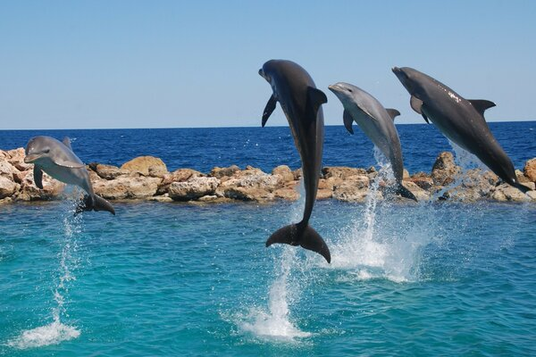 Four dolphins jumped simultaneously out of the water