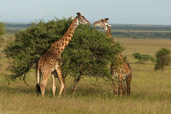 Two giraffe eat leaves from the tree with the shroud