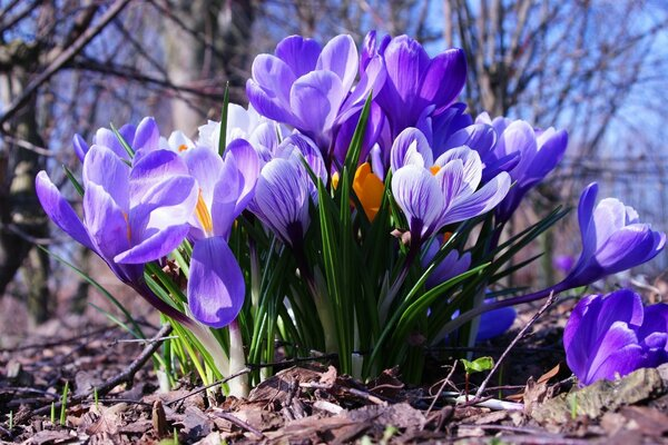 Blooming crocuses