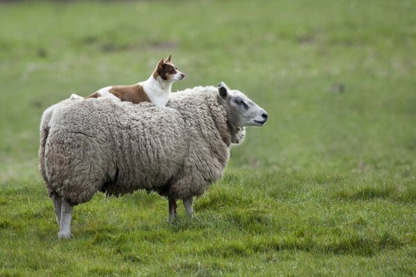 Shepherd dog lies on the back of a sheep