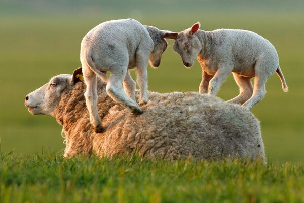 Two lamb mereutsa forces on the back of the mother