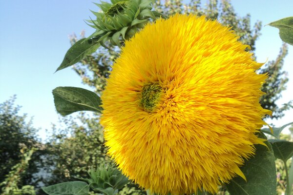 Teddy bear ornamental sunflower