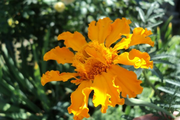 Marigolds in the garden