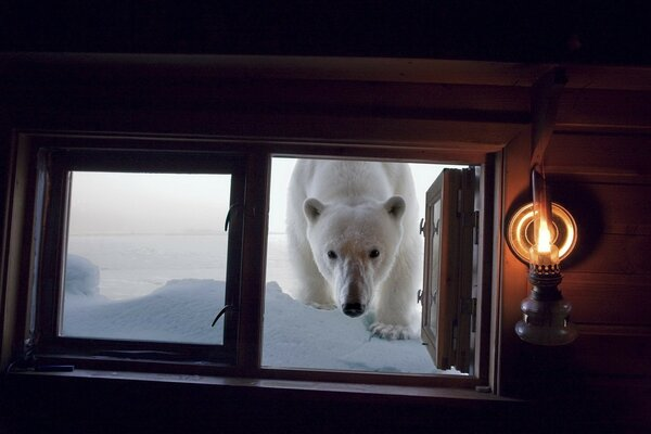 The polar bear came to visit you. The hostess open the window