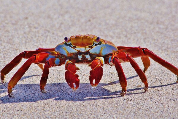 Big Red Crab Macro