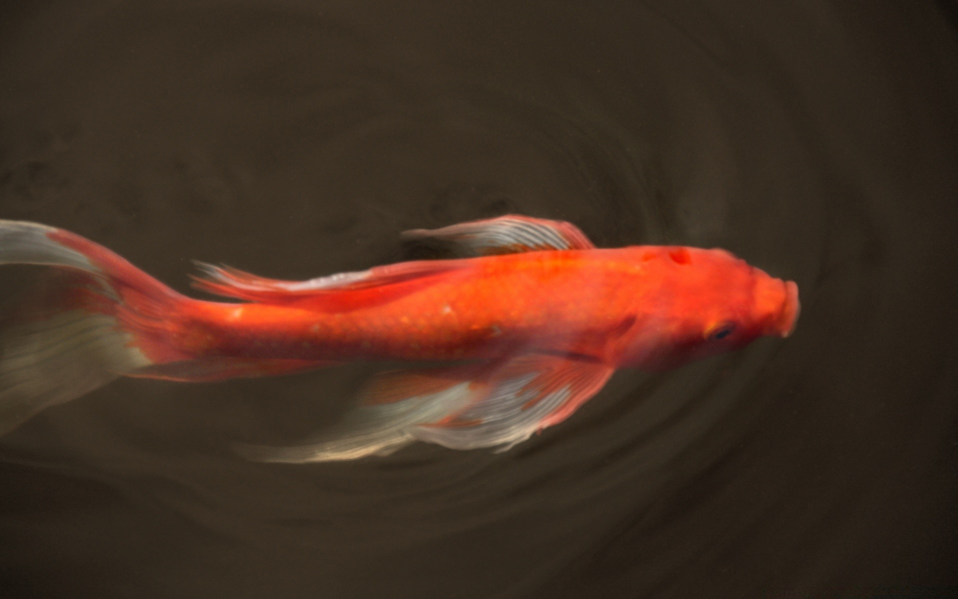 Koi Fish. Android wallpapers for free.