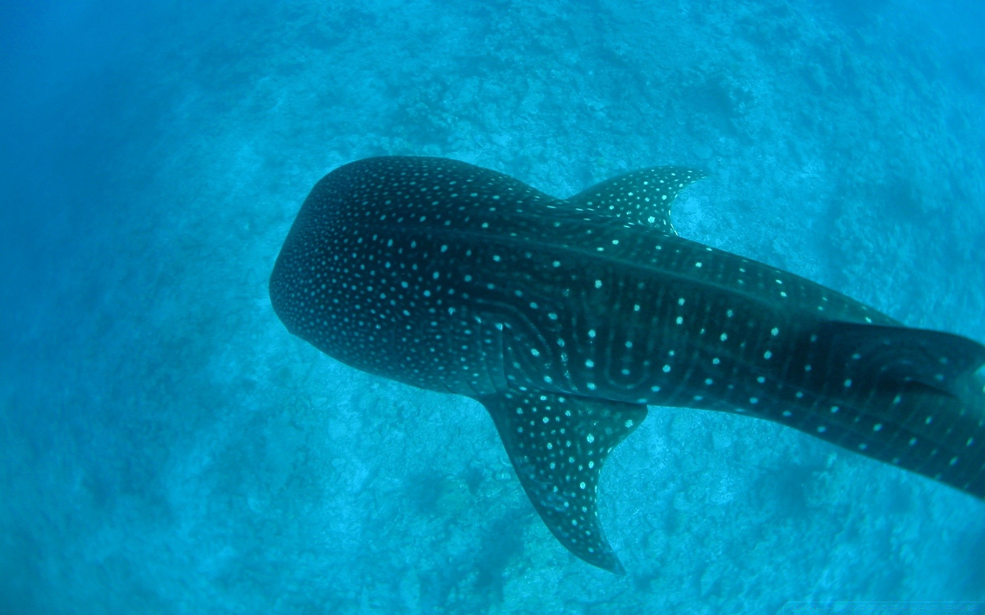 Whale Shark - Android wallpapers