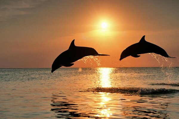 Bottlenose Dolphin Jumping At Sunset Caribbean Honduras