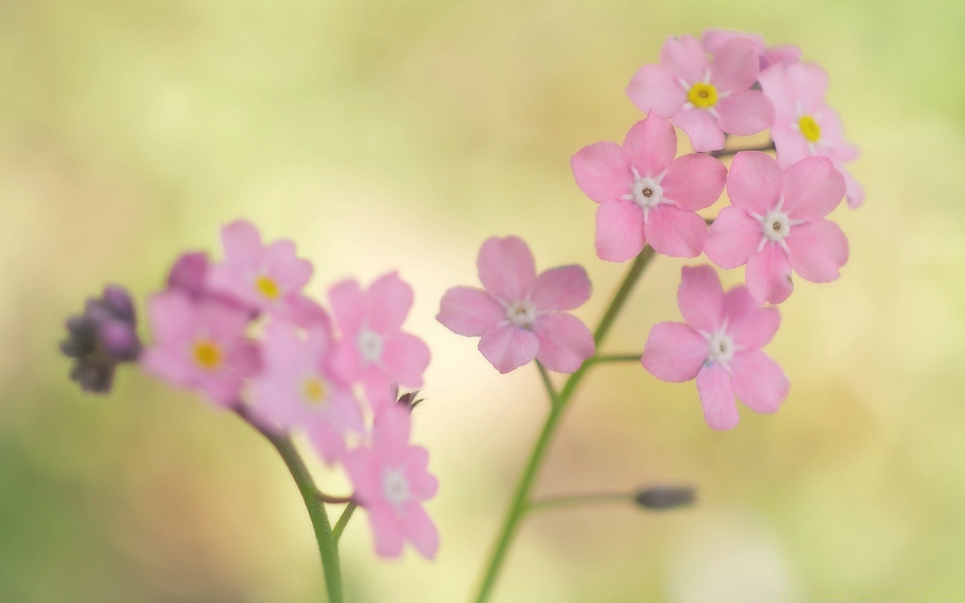 Pink Forget Me Not Flowers Android Wallpapers For Free