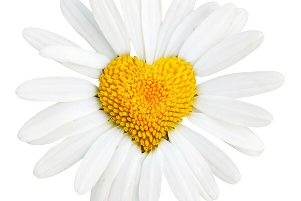Daisy heart shaped
