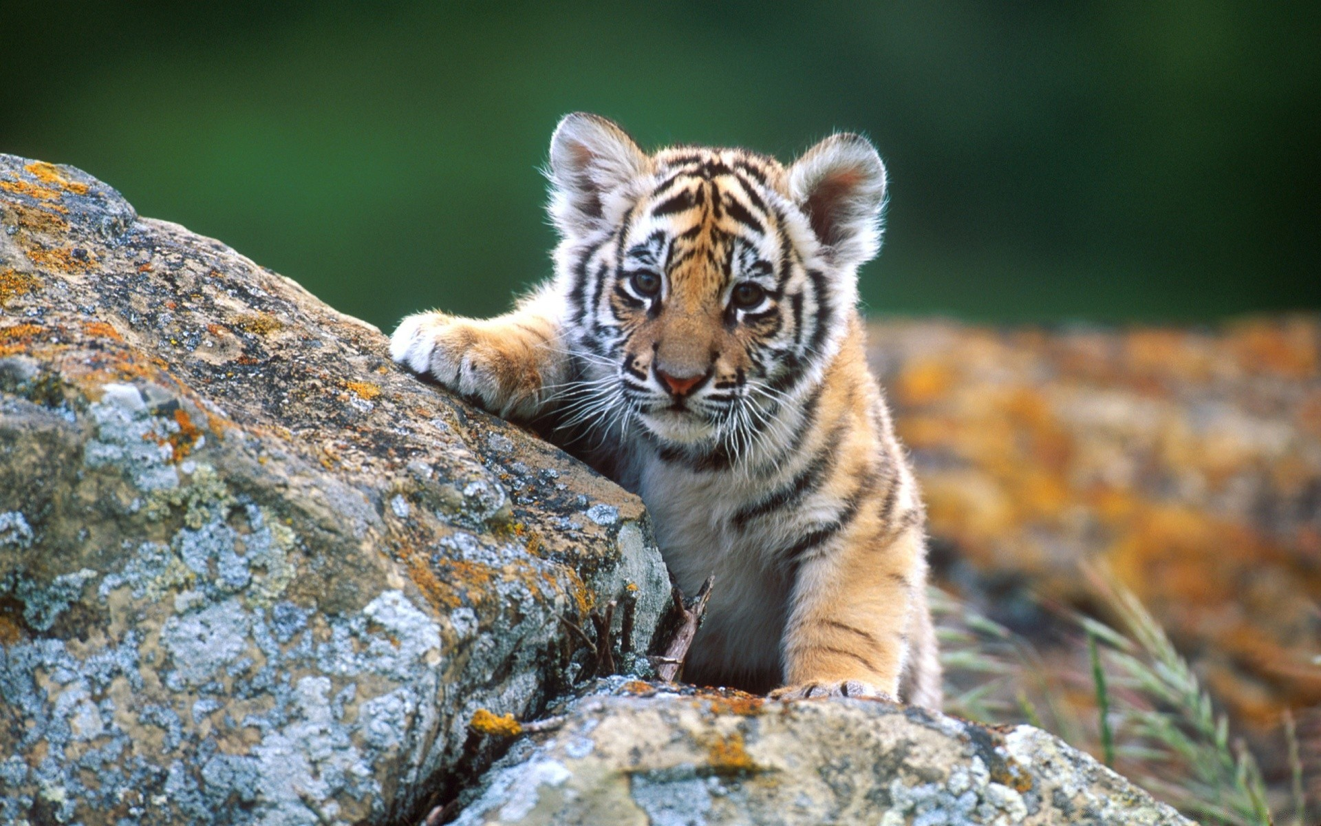 Cute Tiger Cub Desktop Wallpapers For Free