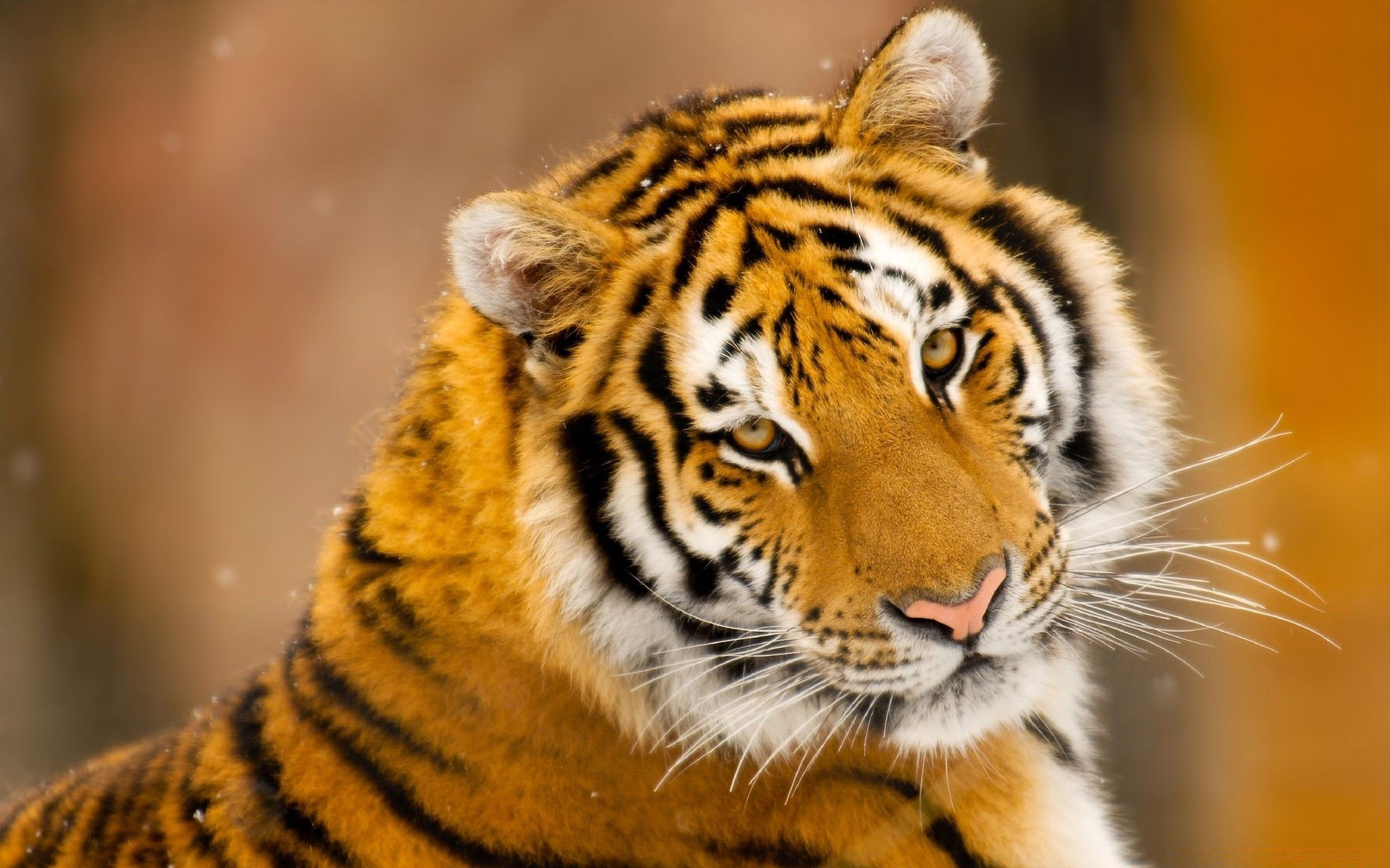 Siberian Tiger Wild Animal Android Wallpapers For Free