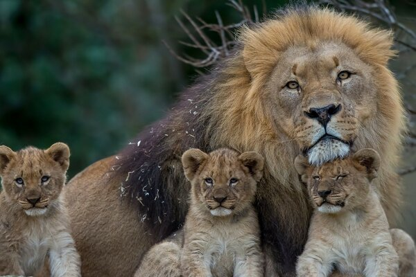 Young Predators Lions