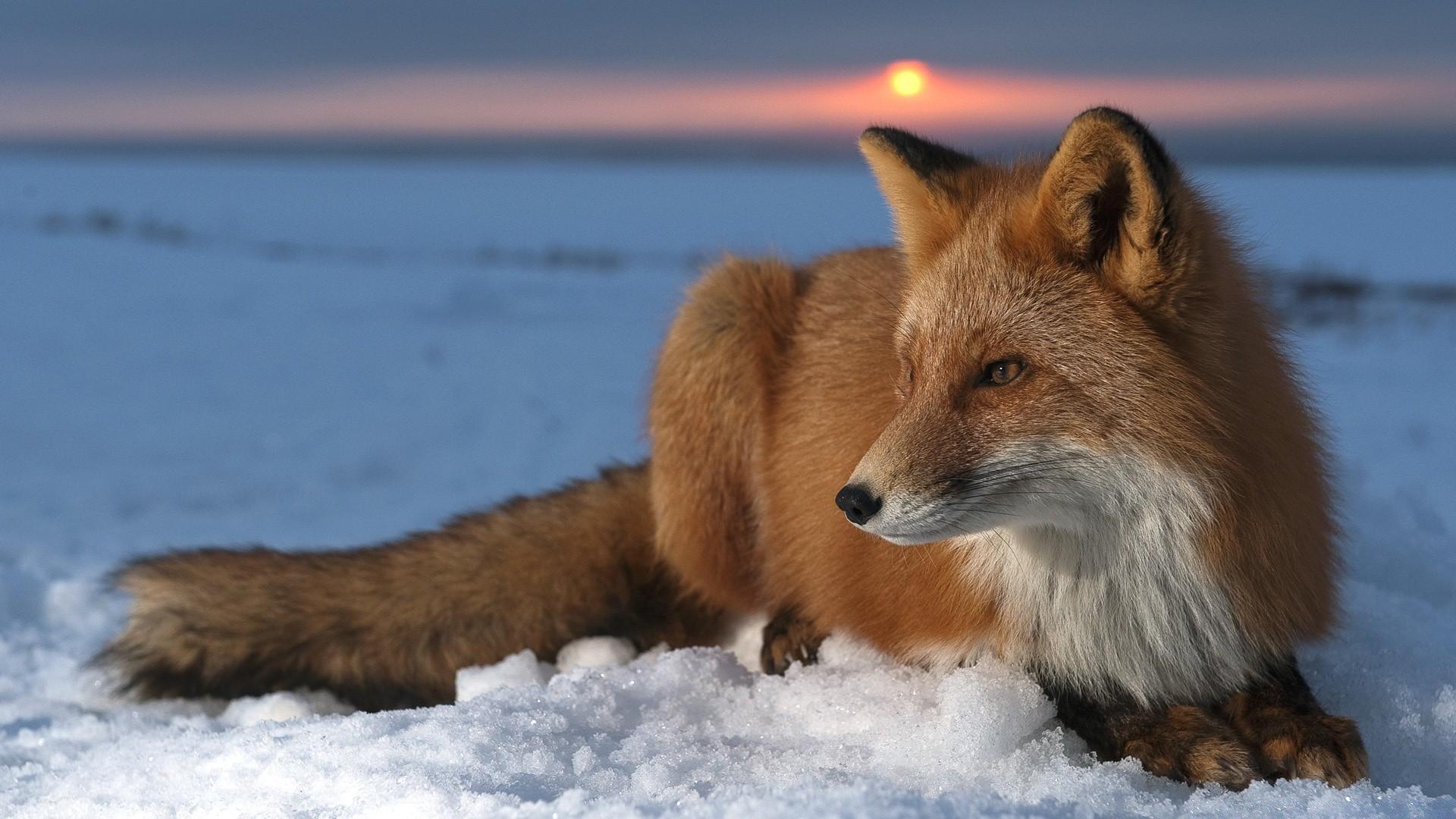 Ice Fox Phone Wallpapers