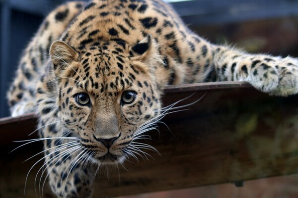 Leopard Ready To Attack