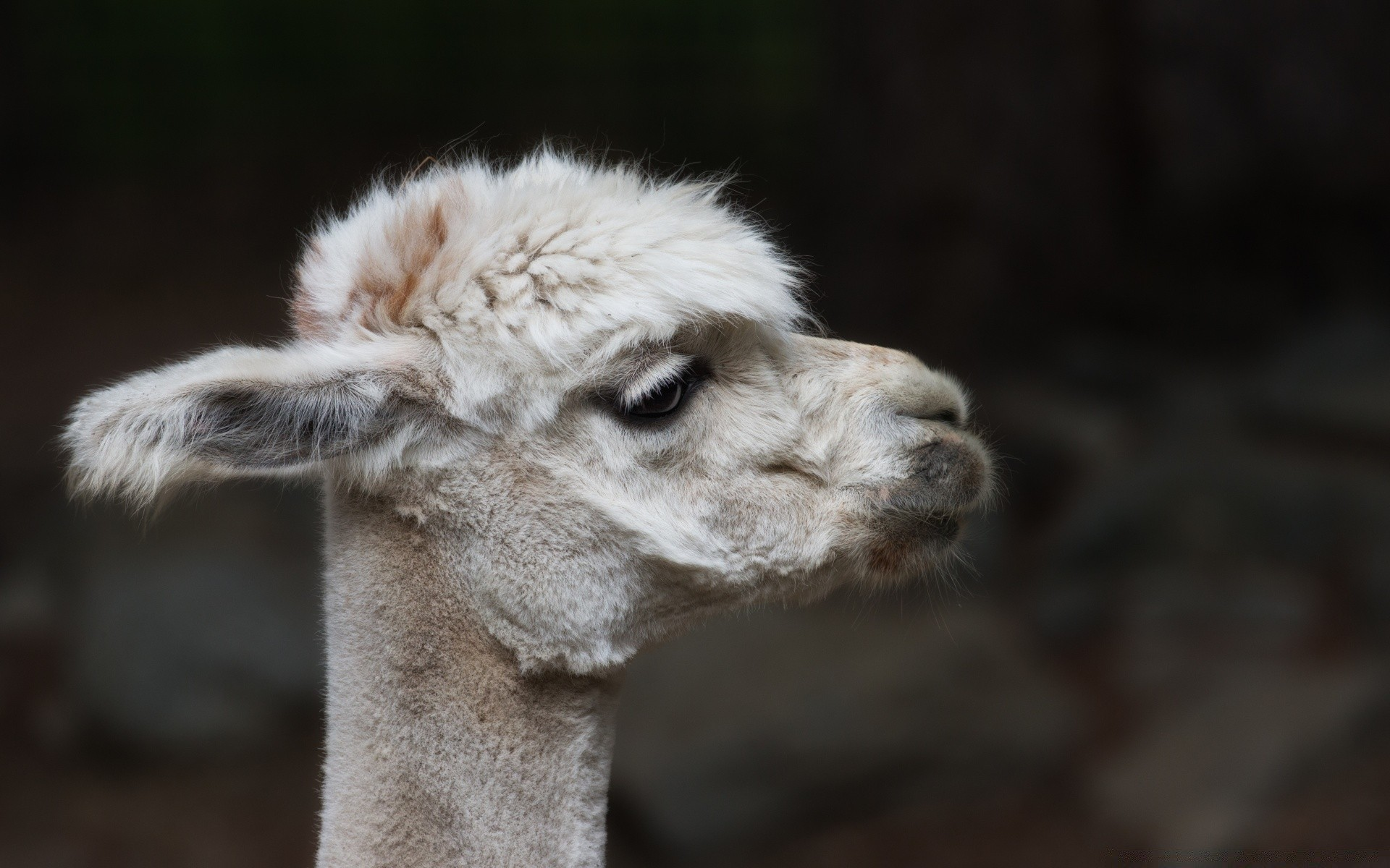 Alpaca Sheared Android Wallpapers