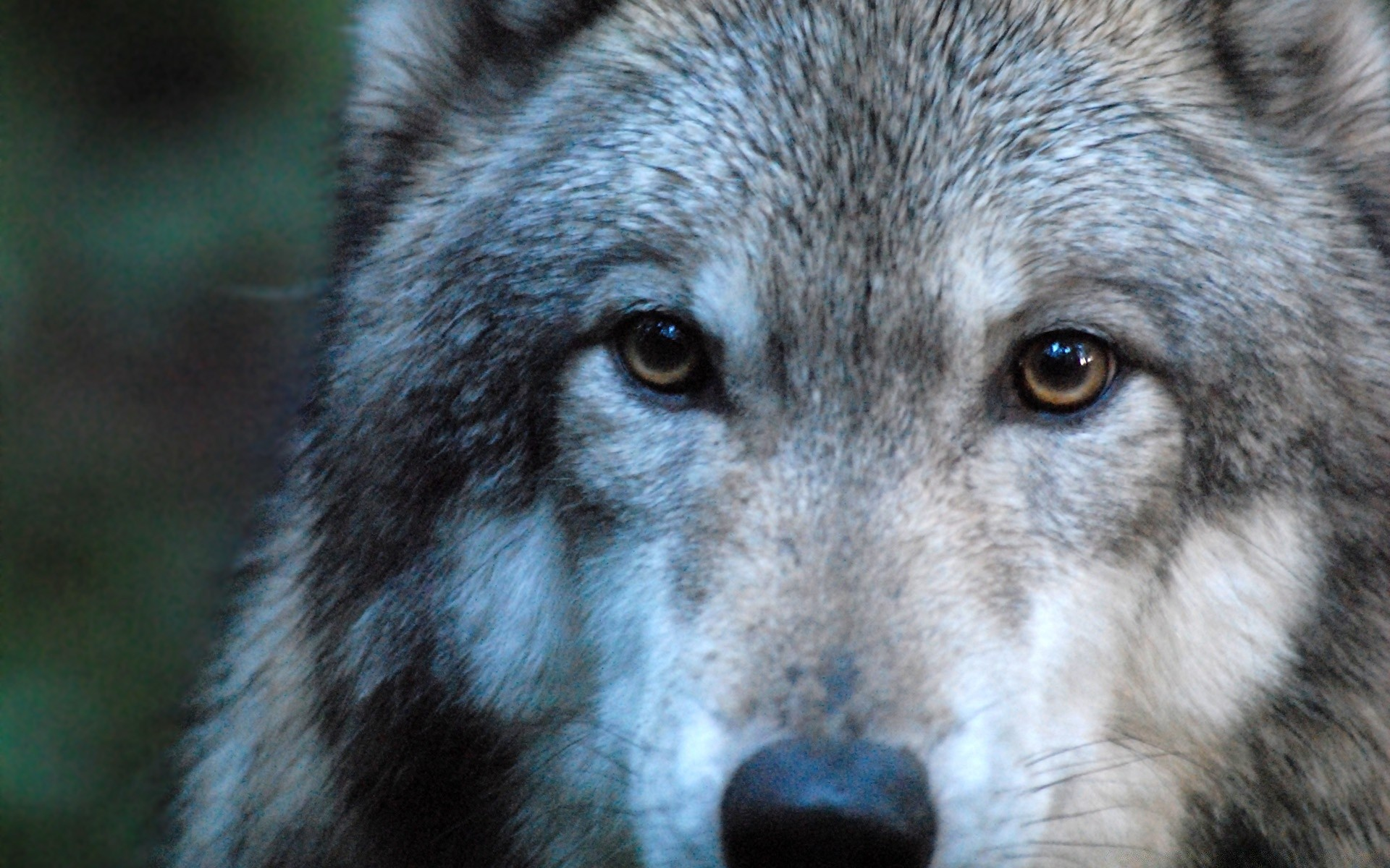 animals mammal wolf wildlife predator wild zoo animal portrait canine fur nature carnivore face dog head wood hunter grey canis