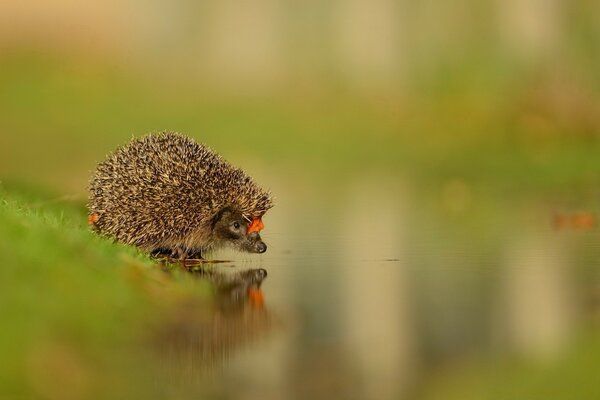 Little Hedgehog At The Water