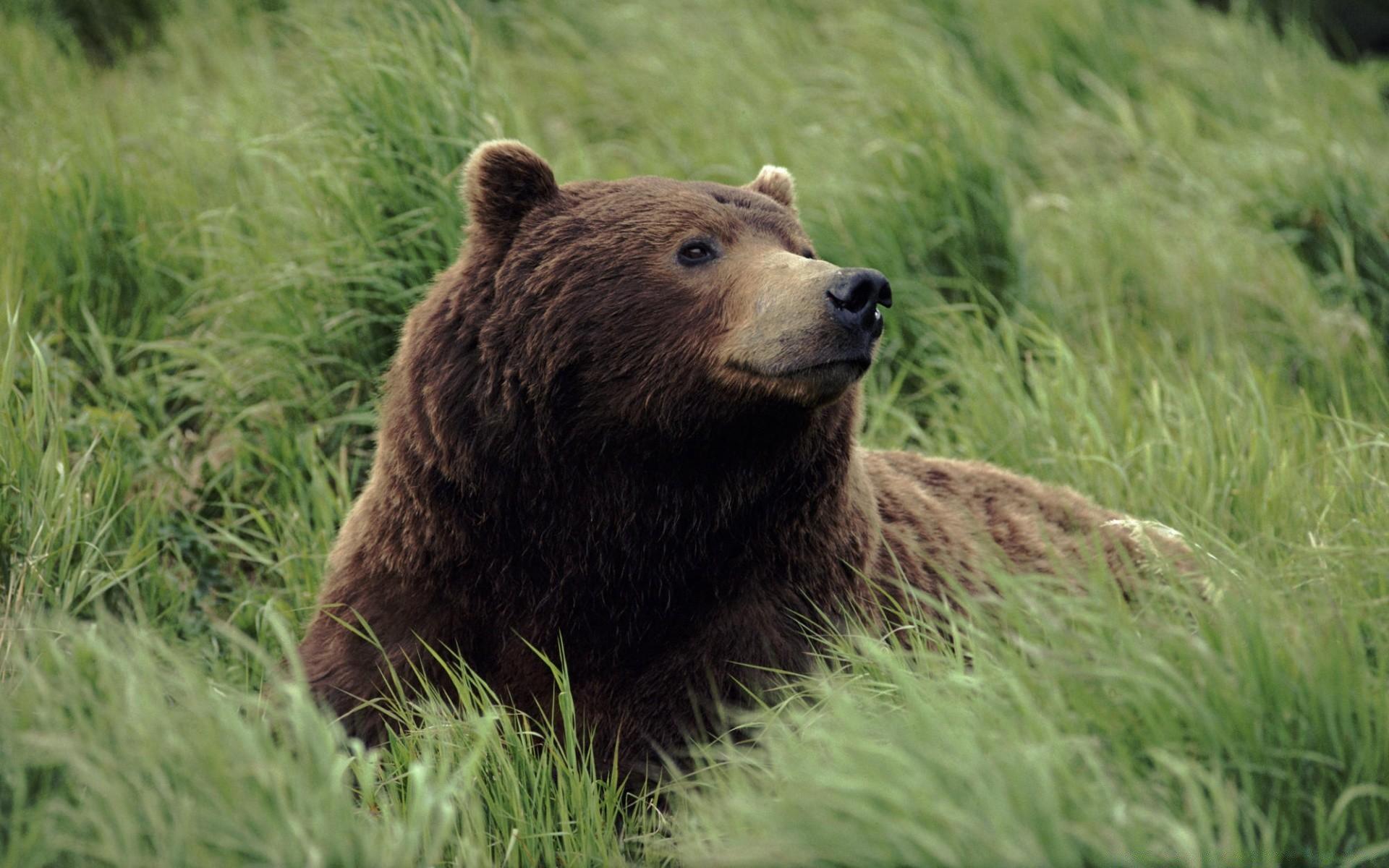 Grizzly Bear Near Mcneil River Alaska Desktop Wallpapers For Free
