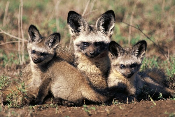 Bat Eared Fox Otocyon Megalotis Mother And Pups Africa