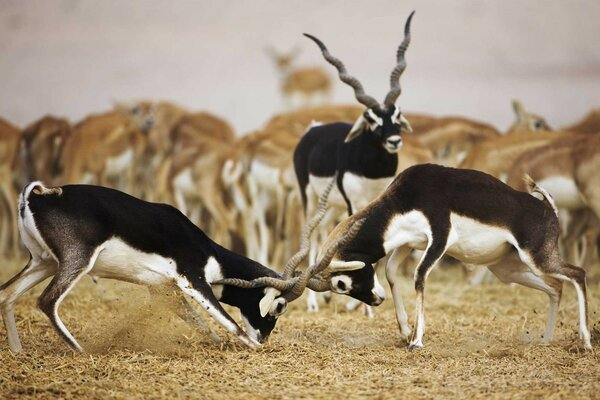 Blackbuck Antelopes