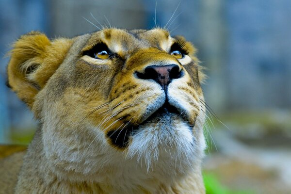 Lioness Face