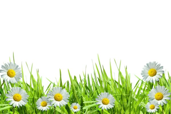 Camomiles with green grass on white background